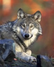 Gray wolf - not dead yet